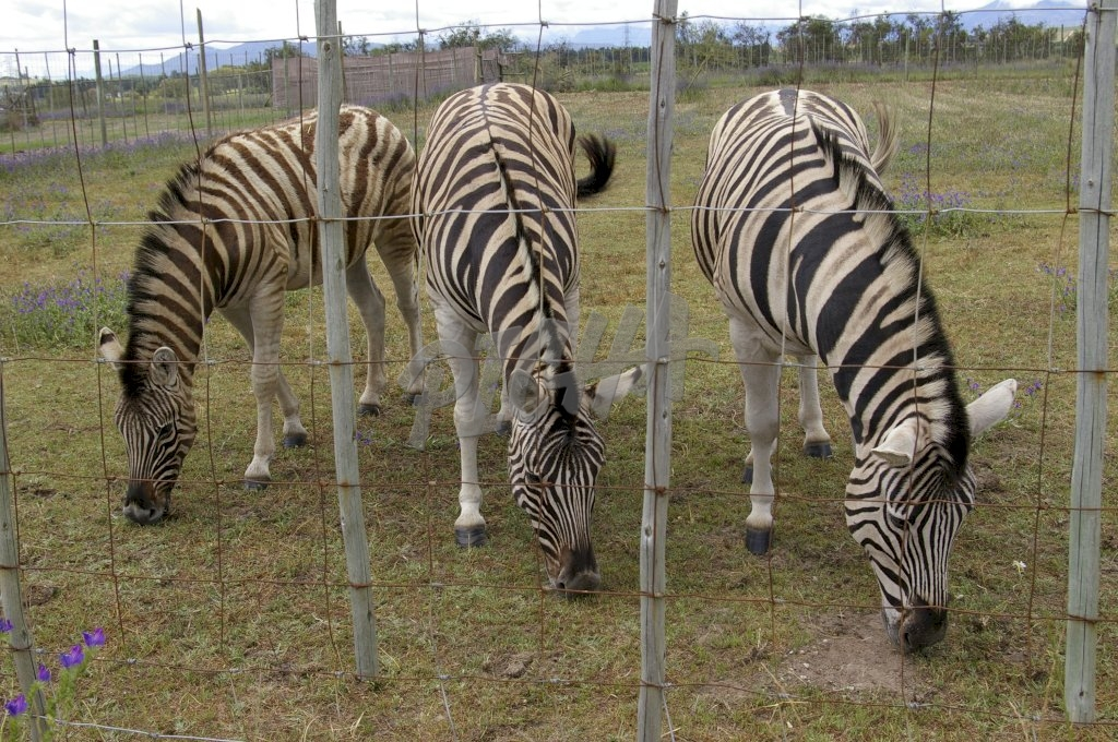 Tame zebras grazing at a game park
