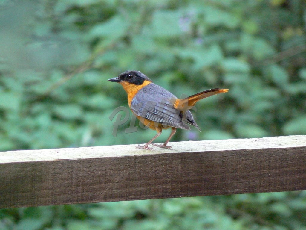 Cape Robin-Chat Bird in the Forest