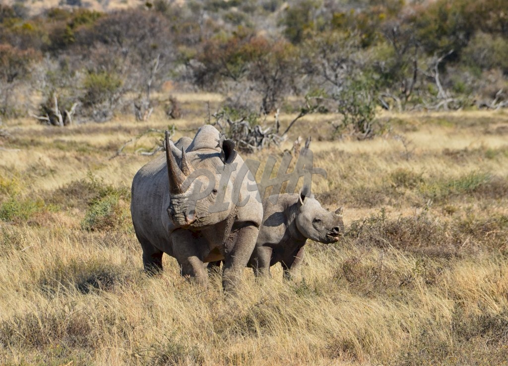 A Black Rhino mother and her 6 month olf calf in Southern African savanna