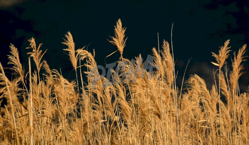 Grasses blowing in the wind at sunset