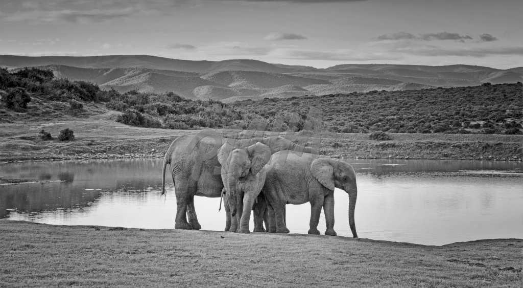 African Elephants , South Africa