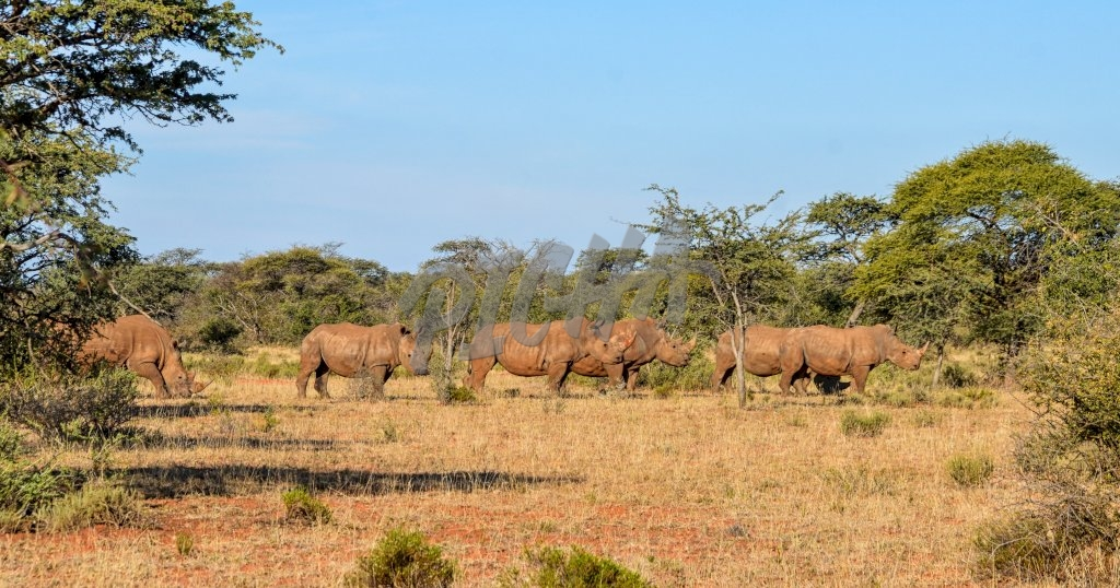 A group of five White Rhino in Southern African savanna