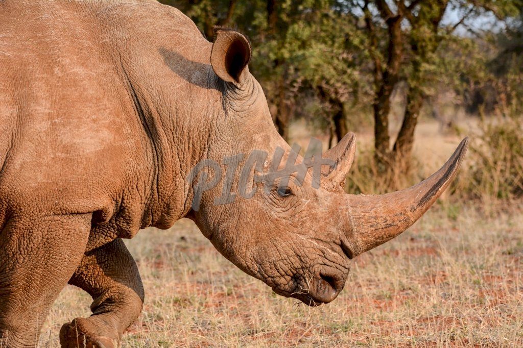 Adult White Rhino in Southern African savanna