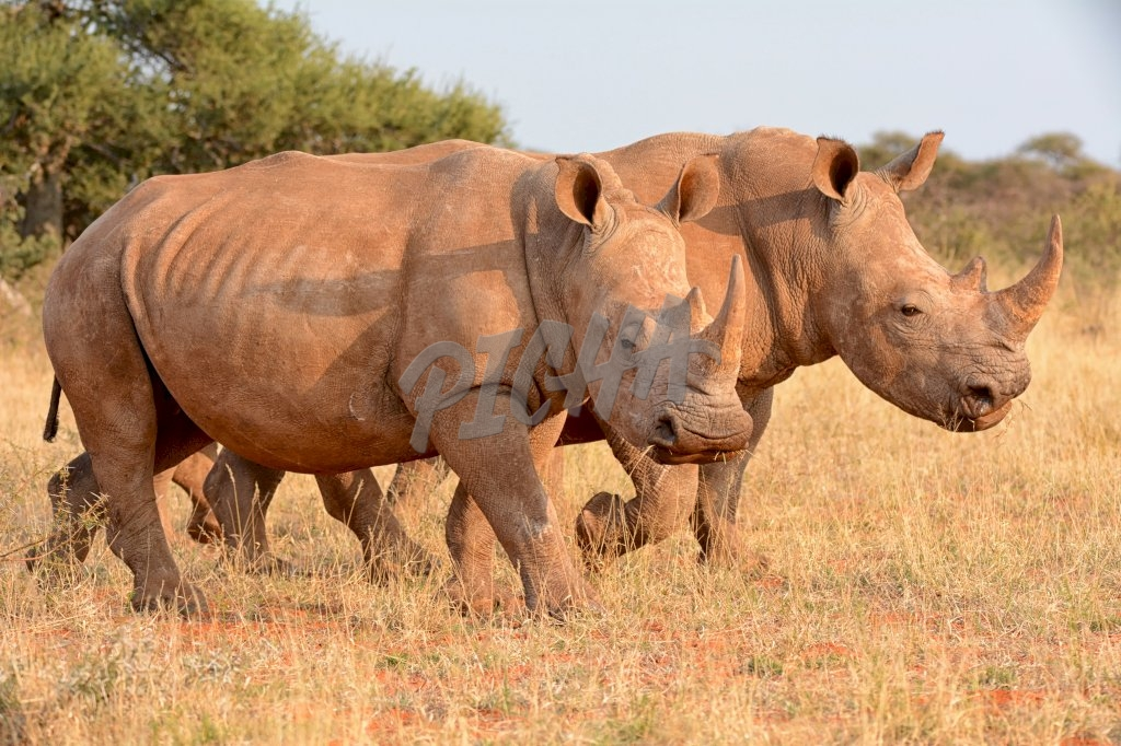 A pair of adult White Rhinos walking in savanna in Southern Africa