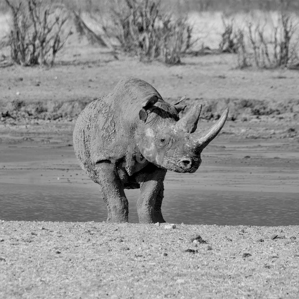 A solitary Black Rhino in Namibian savanna