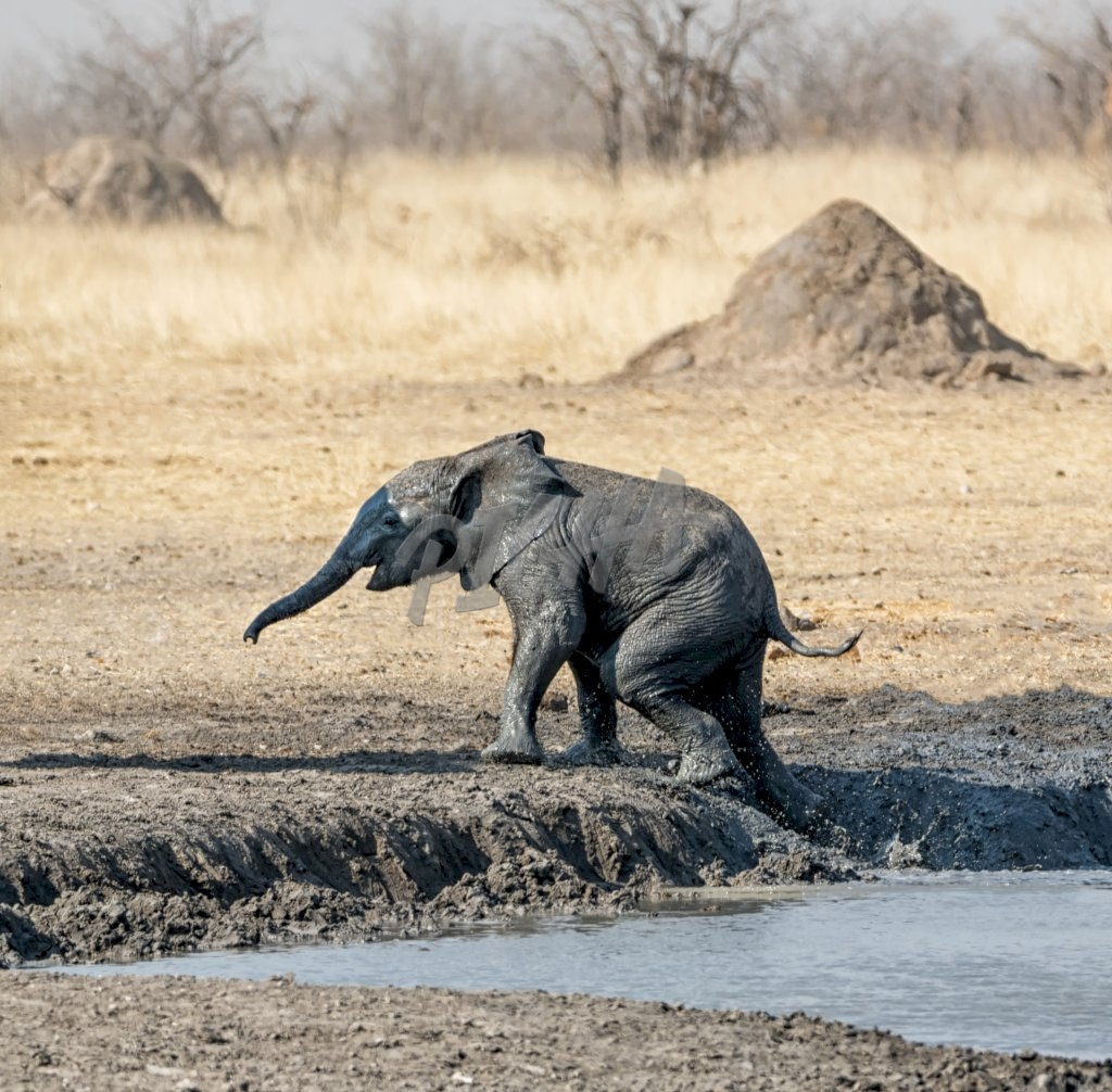 African Elephants at a muddy watering hole in namibian savanna