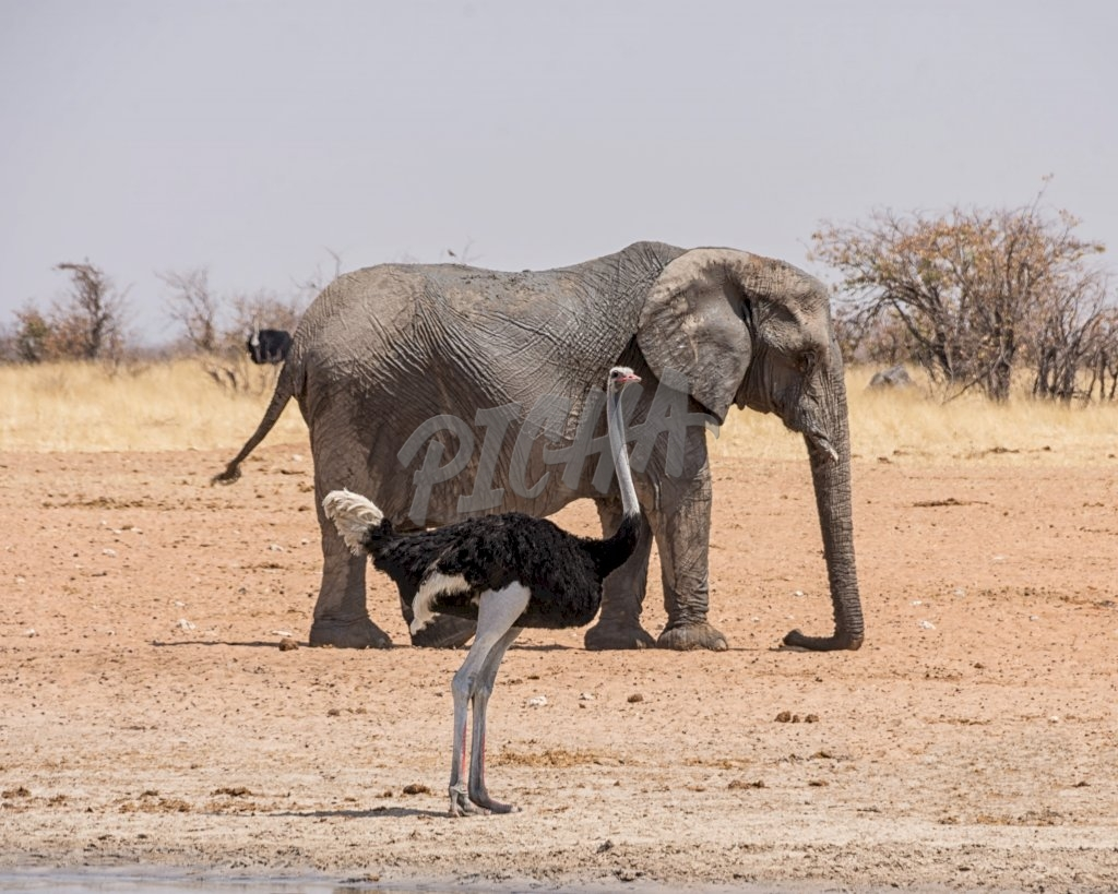 An Ostrich and an Elephant at a watering hole in the Namibian savanna