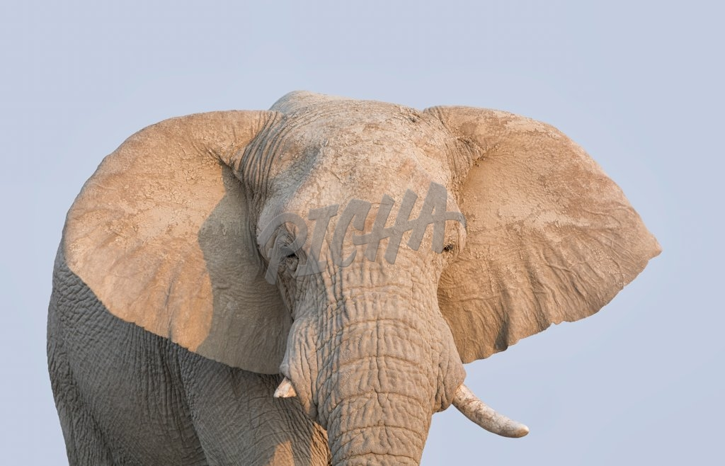 A close portrait of an African elephant's face