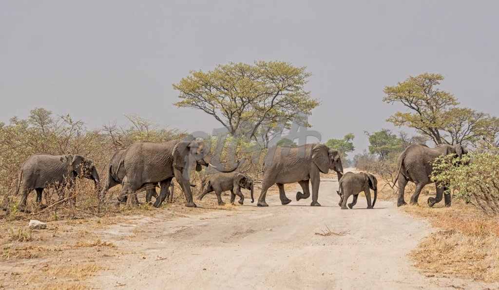 A herd of African Elephants crossing a road in Namibia