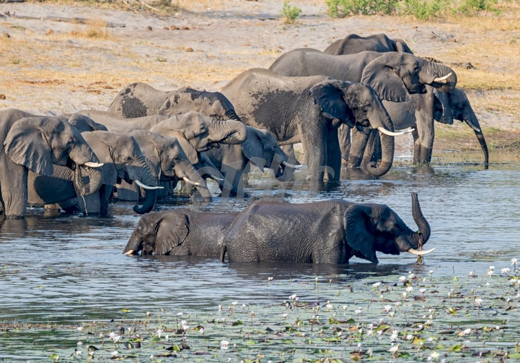 A herd of African Elephants comes to a river to drink and cool down in Namibia's Caprivi Strip
