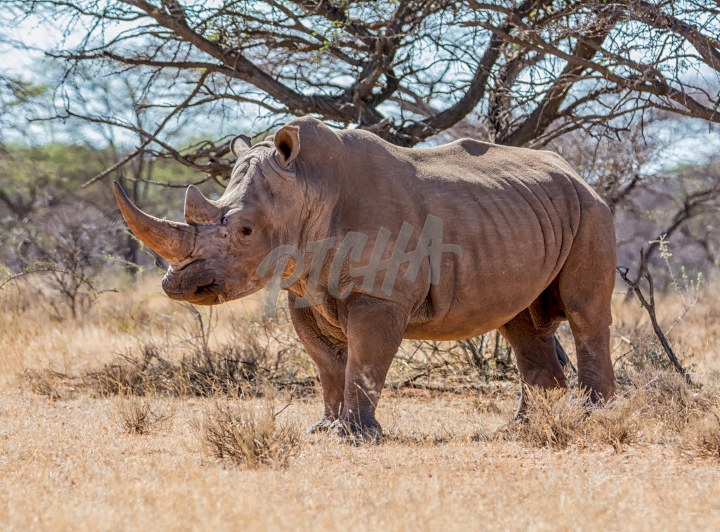 White Rhinoceros in Southern African savanna