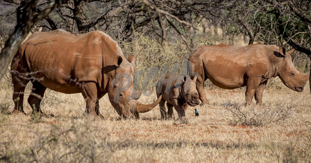 A White Rhinoceros family in Southern African savanna