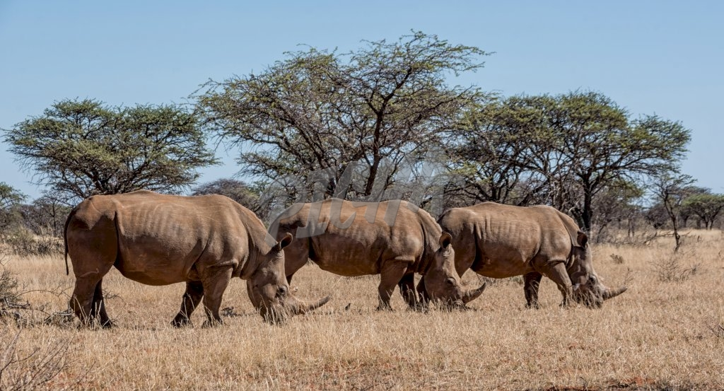 A group of White Rhinoceros in Southern African savanna