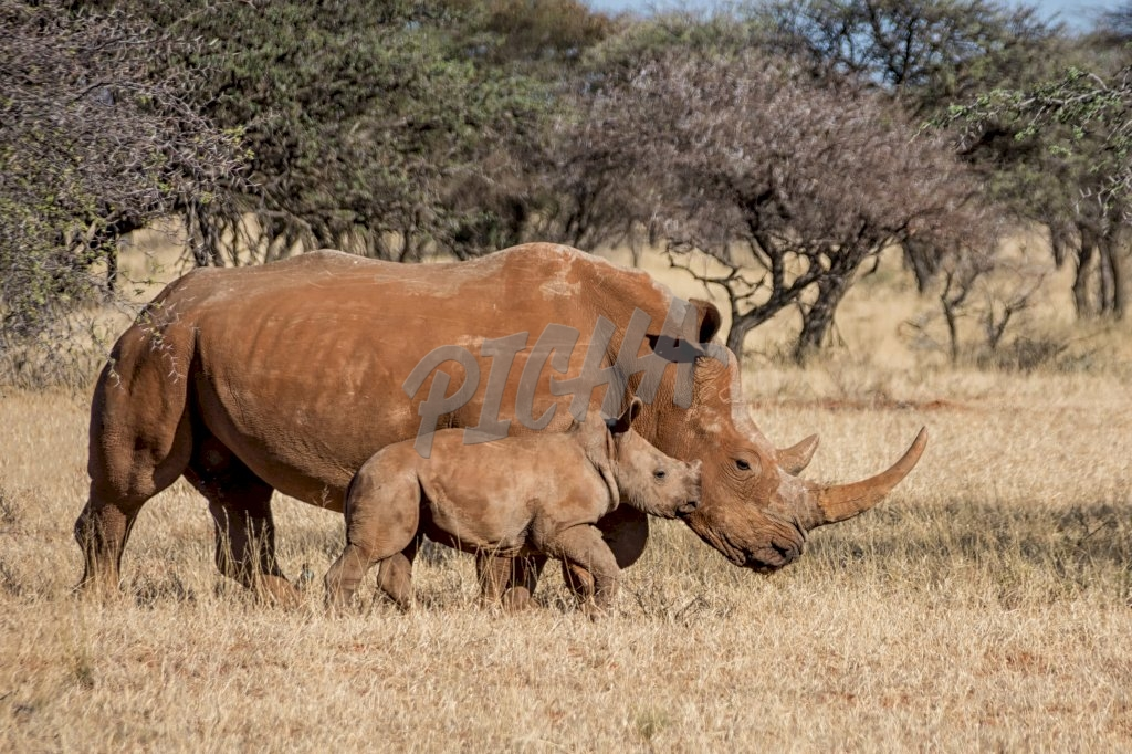 A White Rhinoceros mother and calf in Southern African savanna