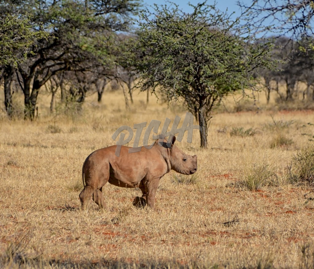 A male White Rhinoceros calf in Southern African savanna