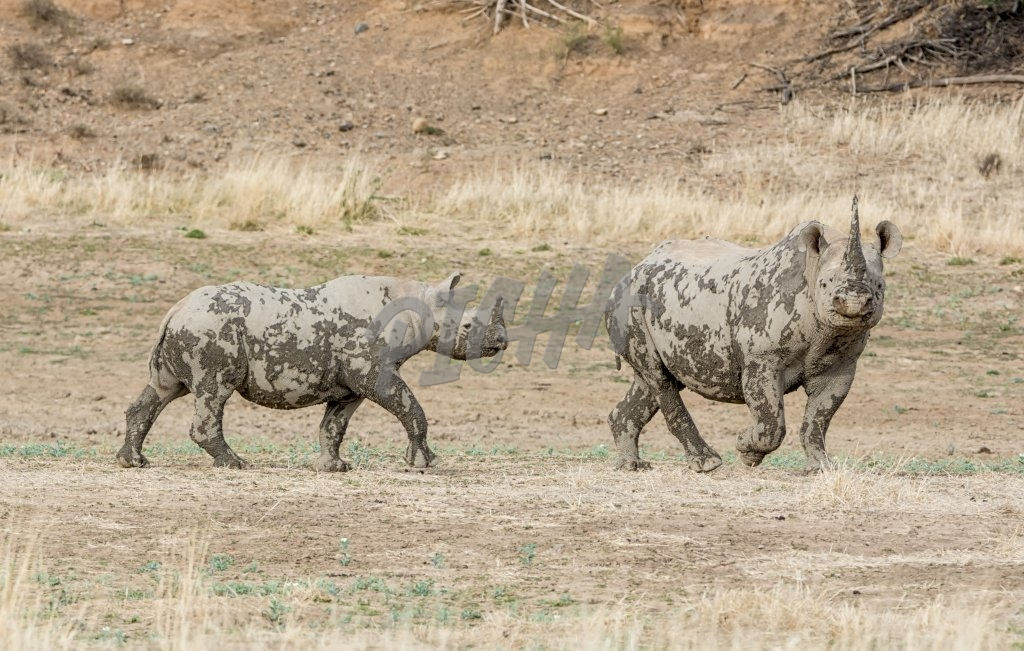 A Black Rhinoceros mother and calf in Southern African savanna