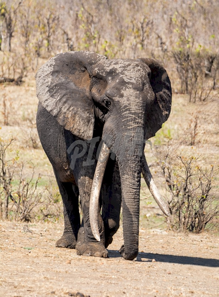 An African Elephant bull in Southern African savanna