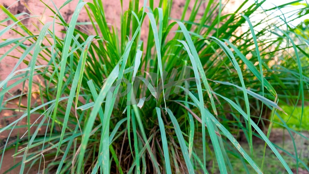 Lemon grass, Citronella foliage