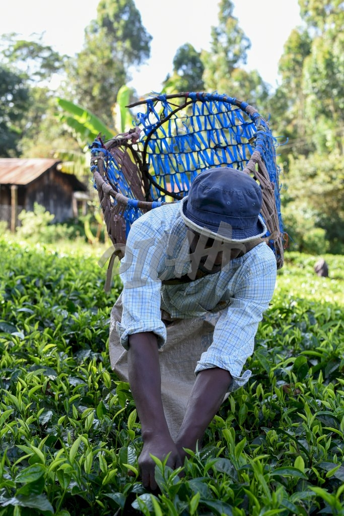 Man picking tea with blue handcrafted basket