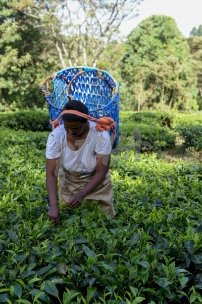 Woman picking tea with blue basket
