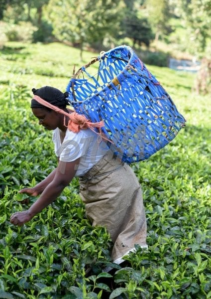 Woman picking tea with blue handcrafted basket