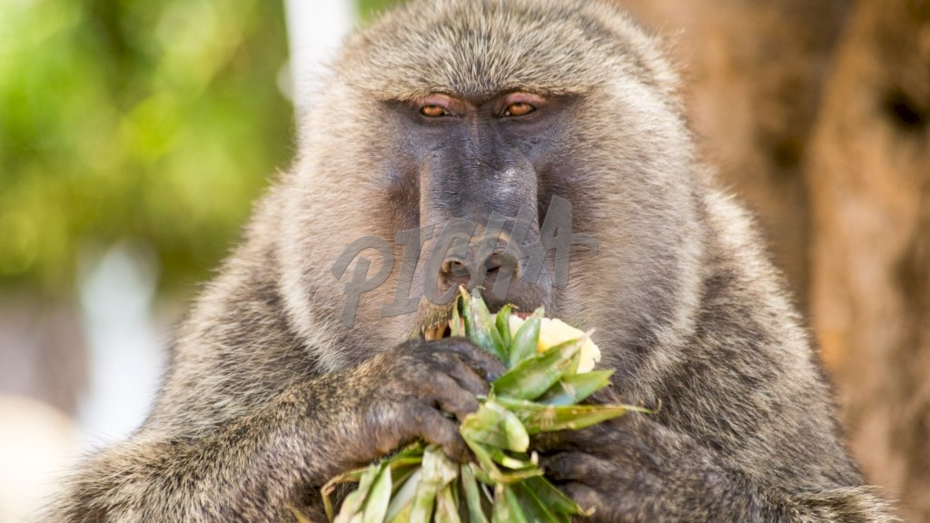 baboon finishing off a pineapple