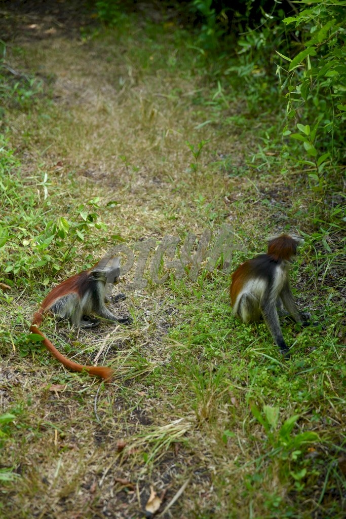 Zanzibar Red Colobus Monkeys in a clearing