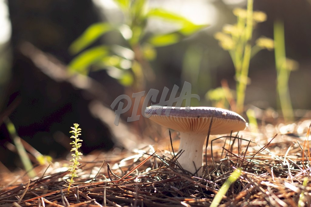 lone mushroom surrounded by pine leaves