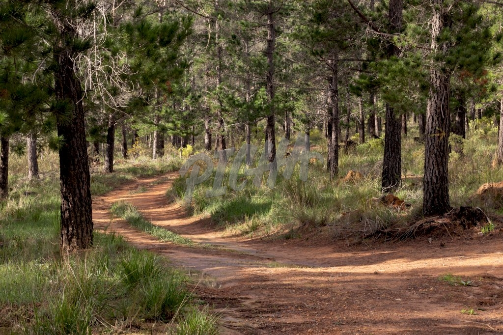 trail curves down a pinewood forest