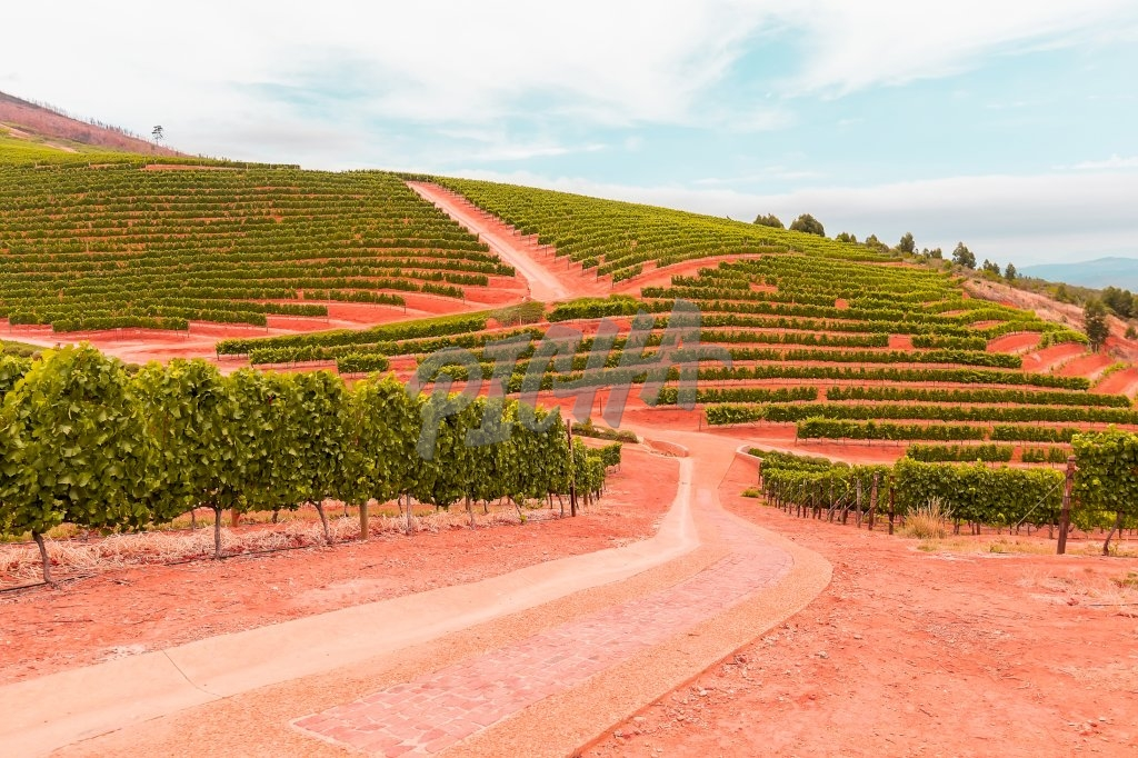 Vineyard, South Africa