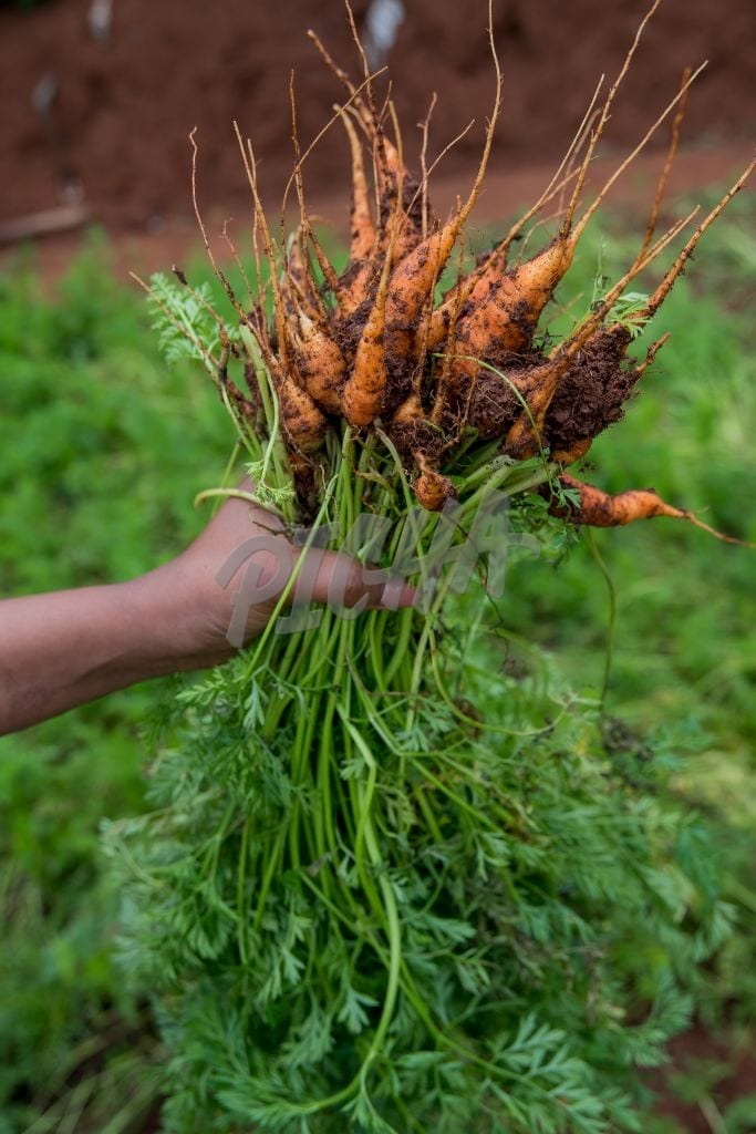 carrots from the ground