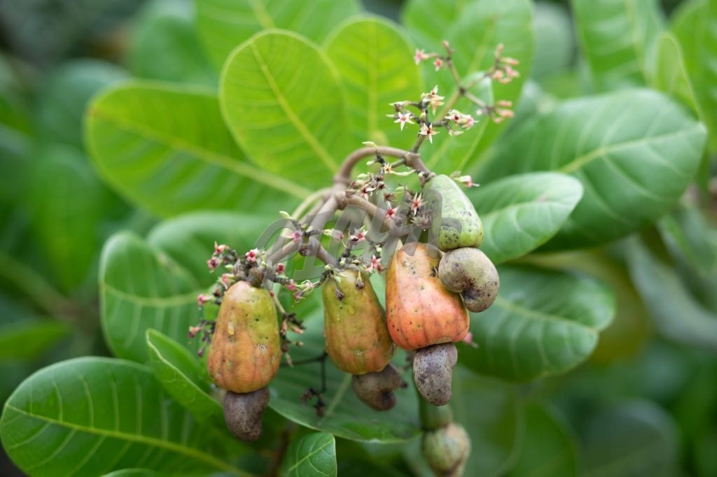 Cashew apple,corn field