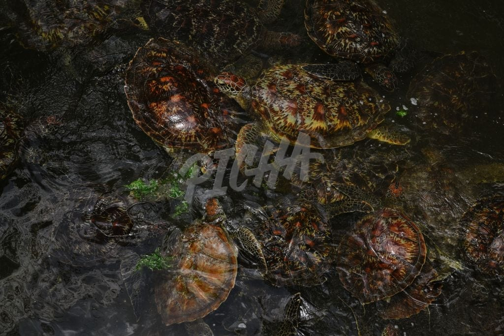 A cluster of turtles