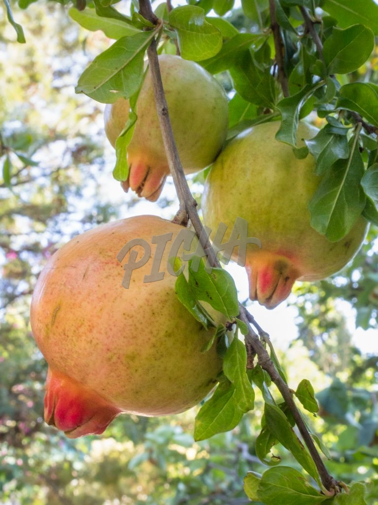 Pomegranate fruits in tree