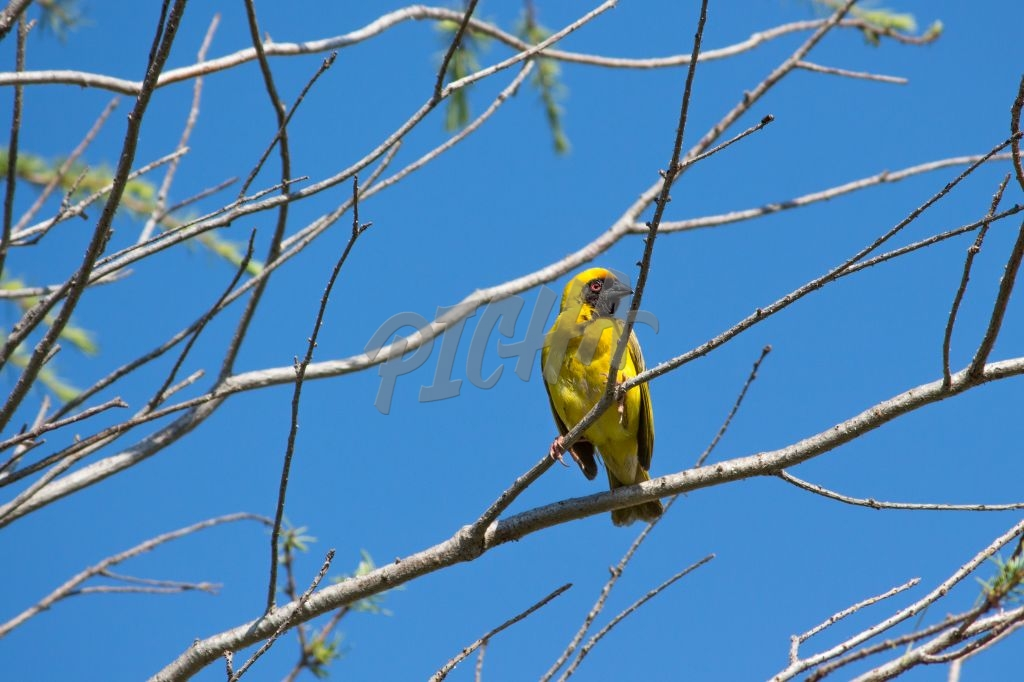 Southern masked weaver bird in tree