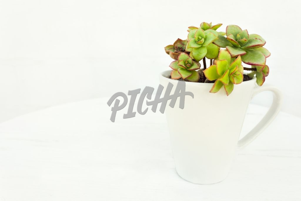 Succulent plant in cup on white table and background