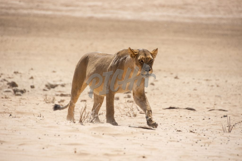 Strolling lioness