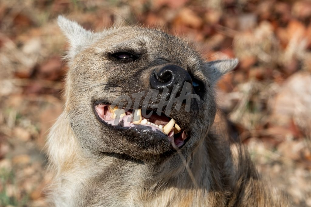 Female Hyena
