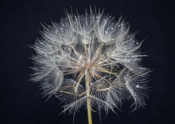 Dandelion flower on dark background