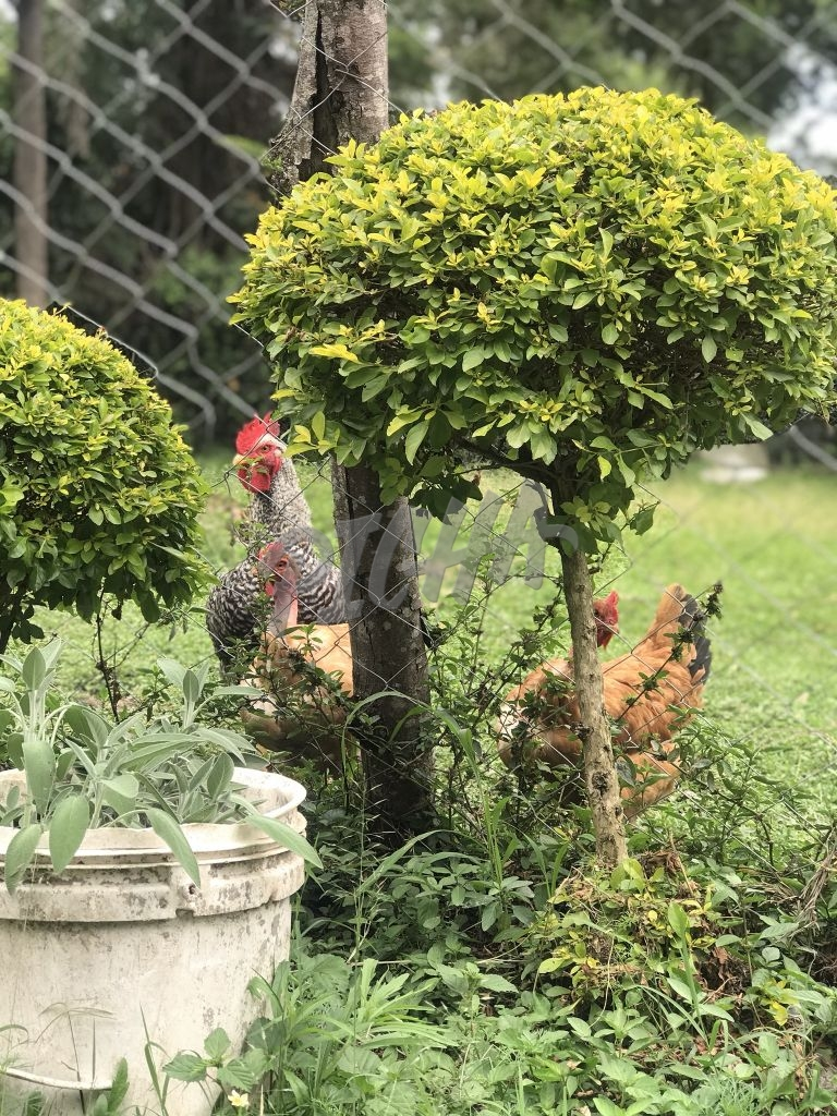 chicken at the fence