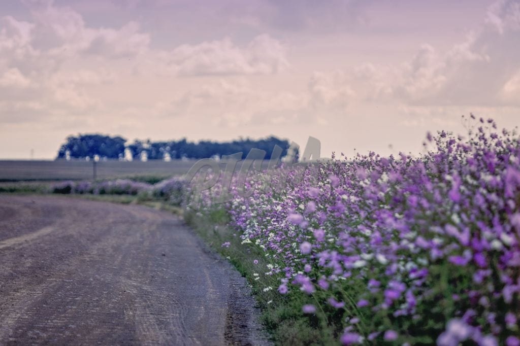 cosmos flowers on a dust road
