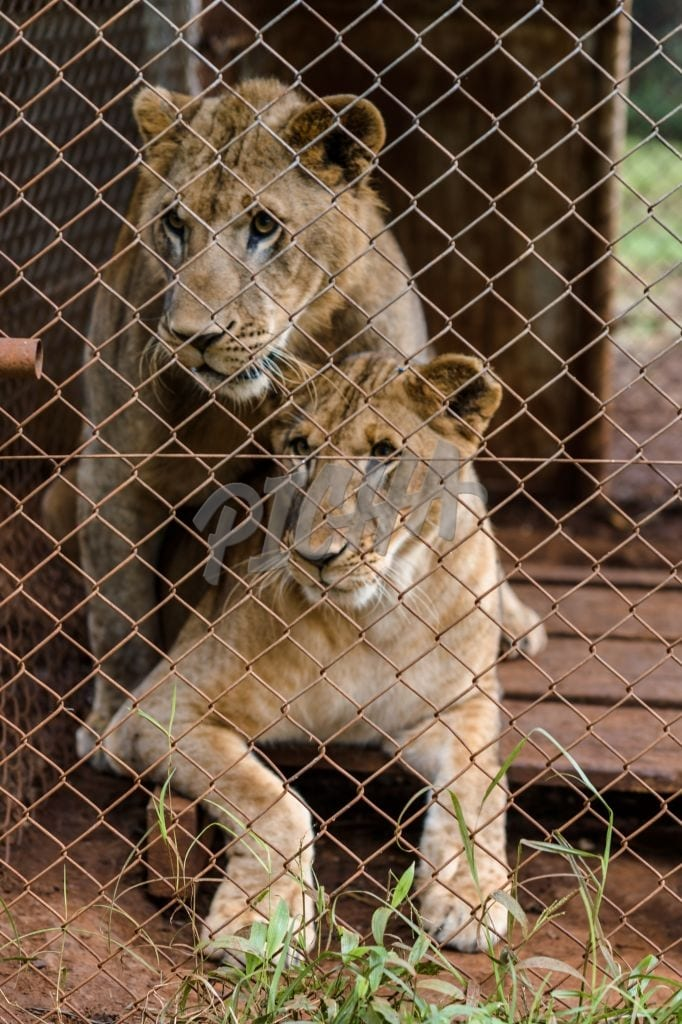 Young lions in their enclosure