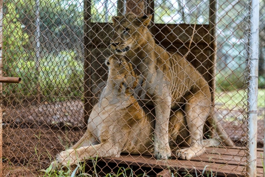 Lions in their enclosure