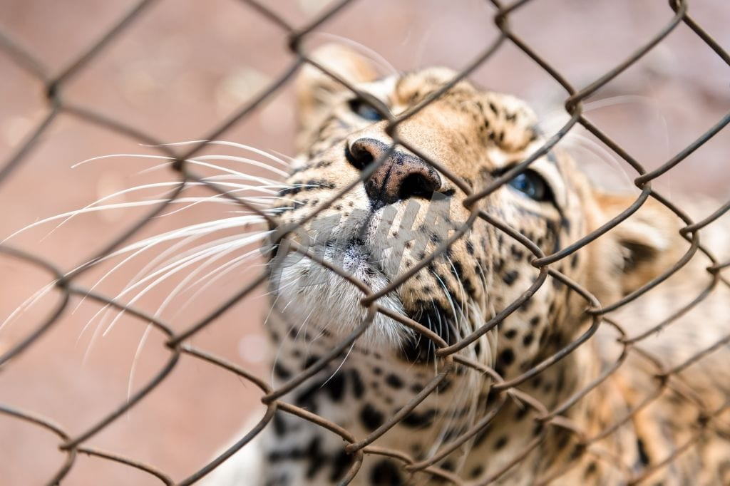 Leopard in captivity