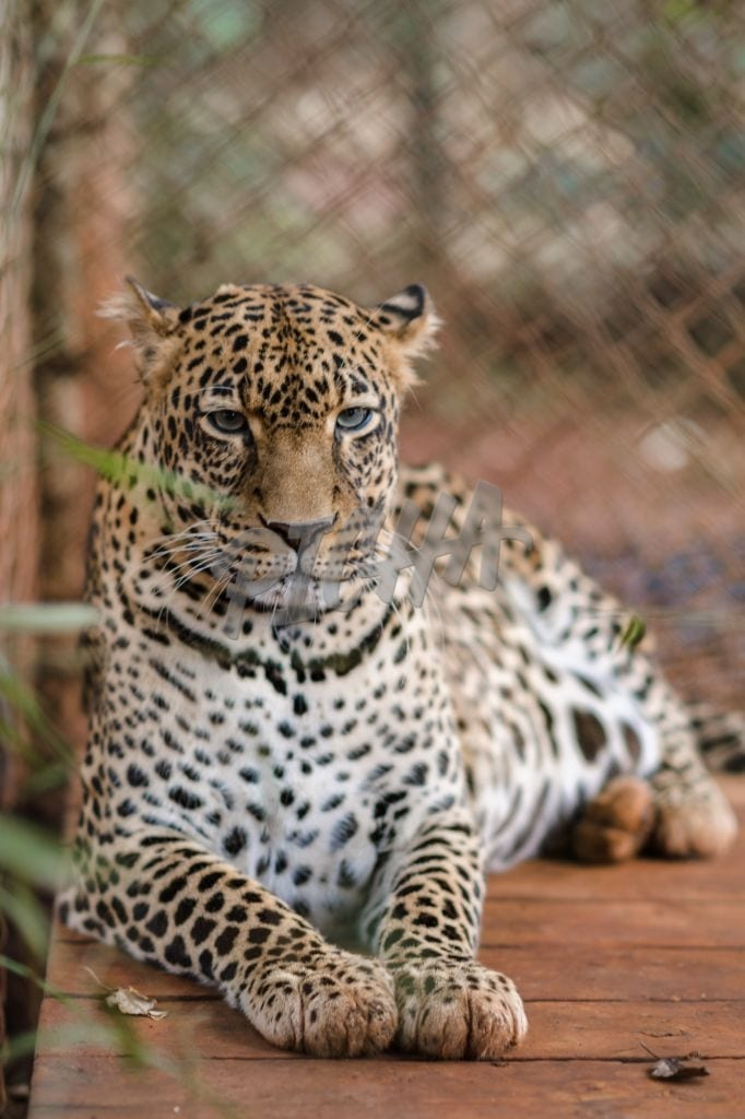 Focused Leopard