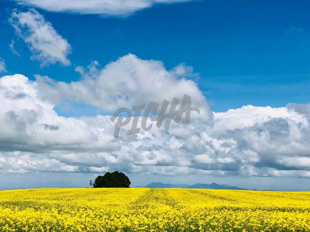 Yellow flower canopy