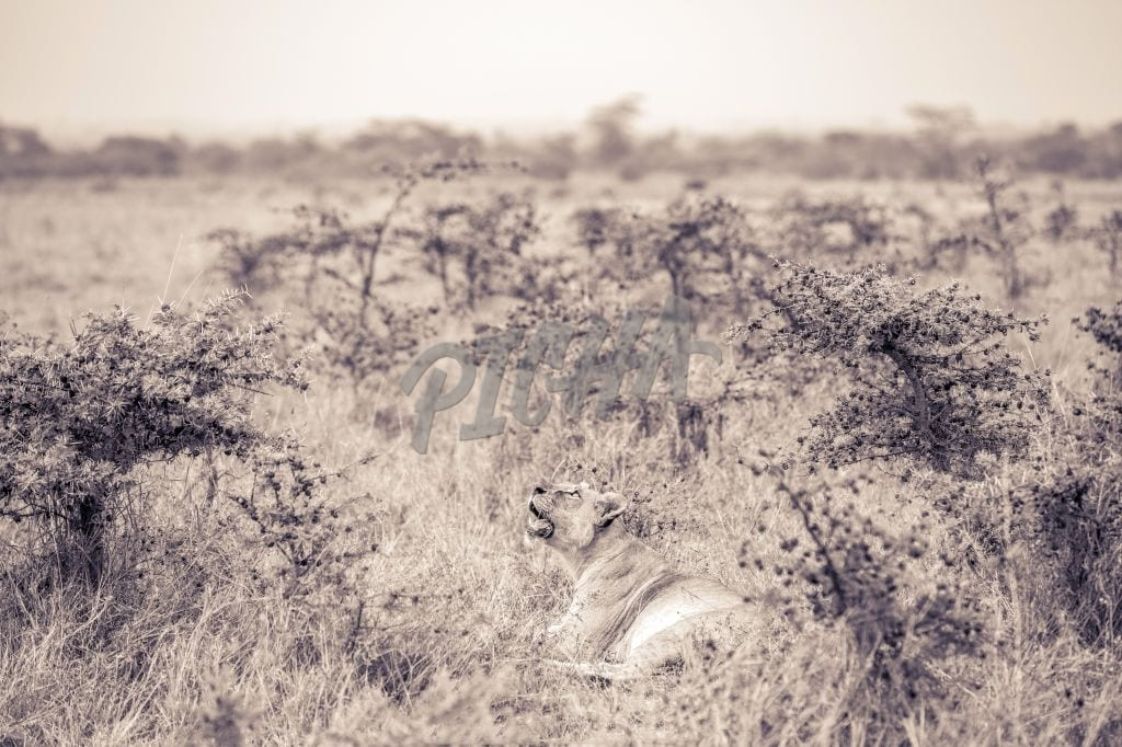 Lone lioness in the grass