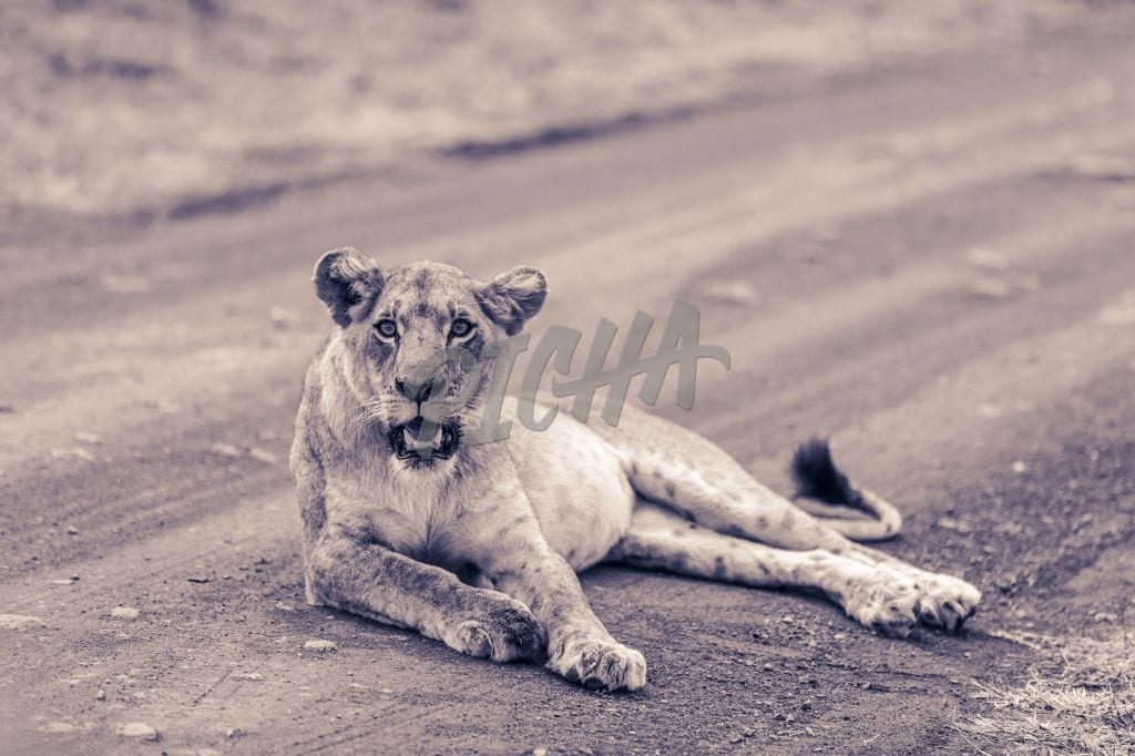 Lioness resting on a trail