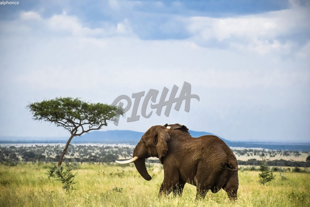 Elephant in the wild