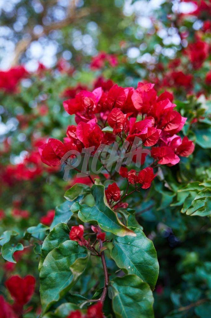 Red bougainvillea flowers